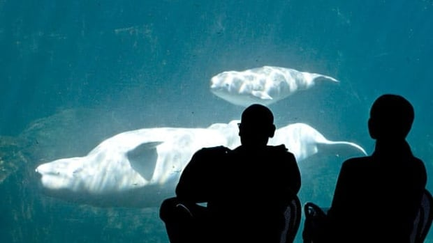 Volunteer observers at the Vancouver Aquarium watch Qila the Beluga during the final days of her pregnancy last year.