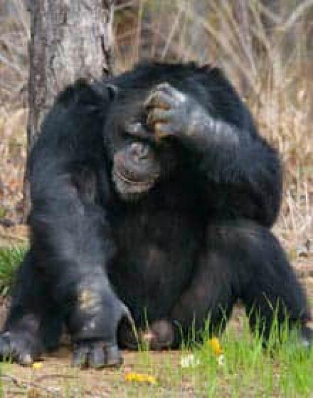 chimp-cp-820348