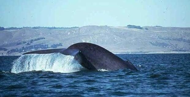 bc-090415-blue-whale-gretchen-steiger-FULL