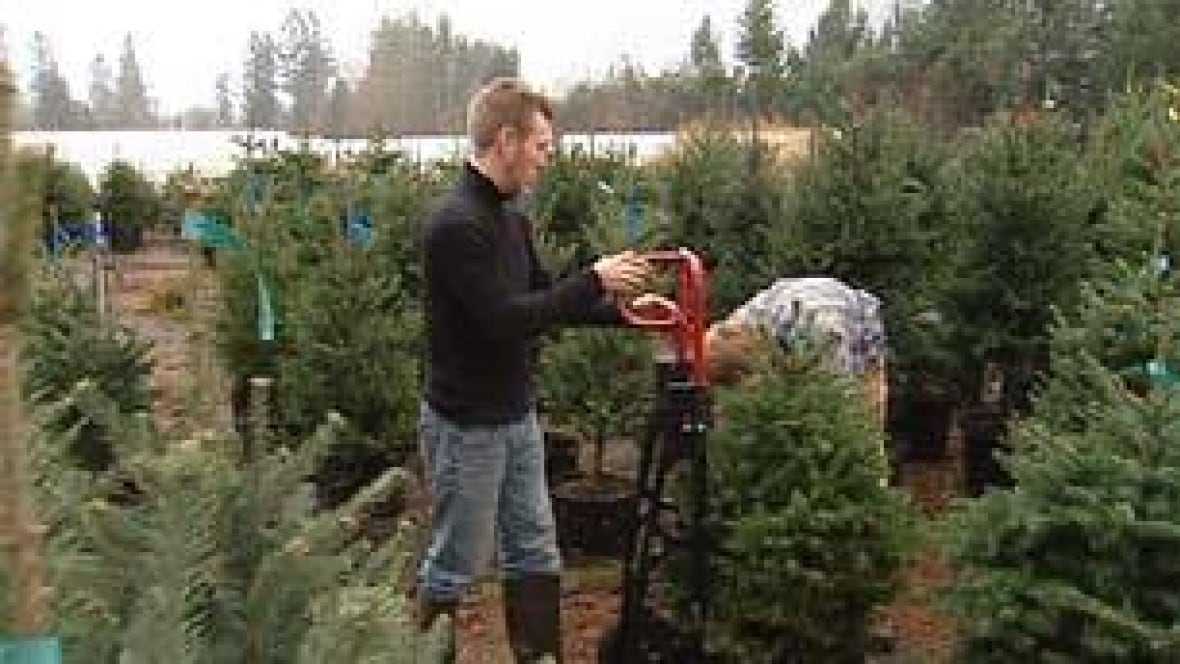 christmas tree rental firms battle waste cbc news latest canada world entertainment and business news - Rent A Christmas Tree
