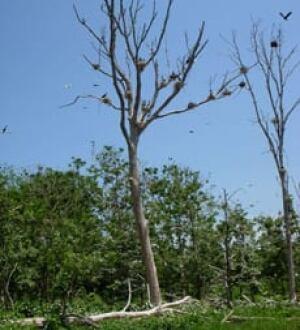 cormormant-tree-220px