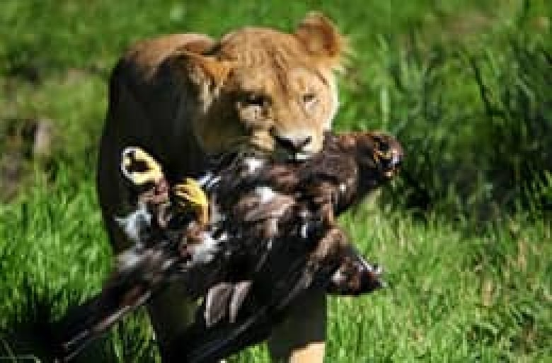 Golden eagle falls prey to lioness at Vancouver zoo | CBC News