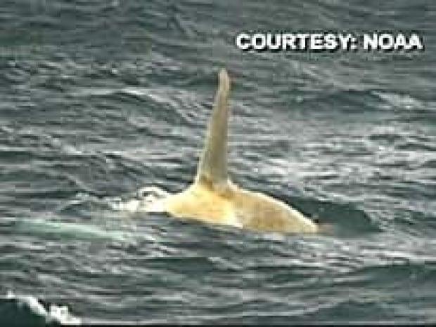 bc-080308-white-orca-3