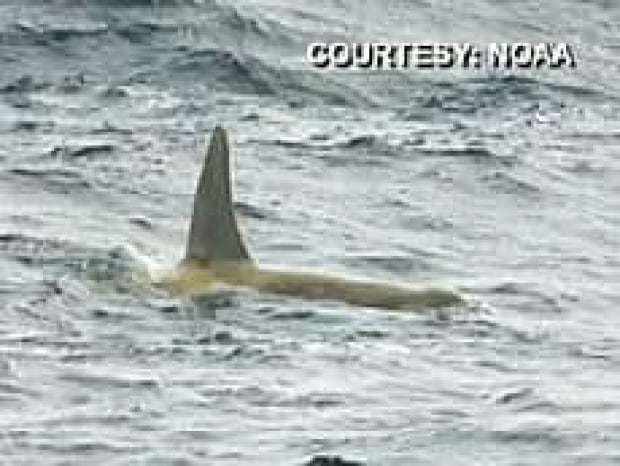 bc-080308-white-orca-2