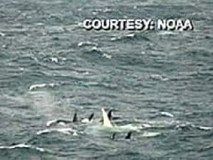 bc-080308-white-orca
