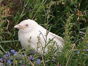 Albino crow - photo#27