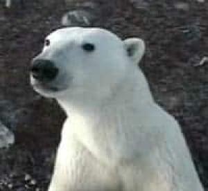 polar-bear061228