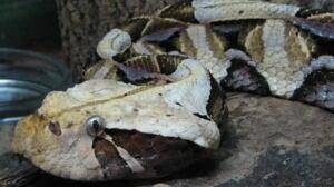 gaboon-viper-584