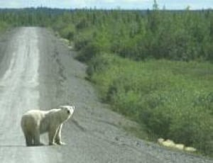 north-polarbear070813
