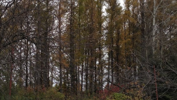 A stand of tamarack trees near Mohawk Crescent is due to be cut down and replaced with white spruce, after a narrow vote by Thunder Bay City Council. Some Thunder Bay residents are protesting the decision.