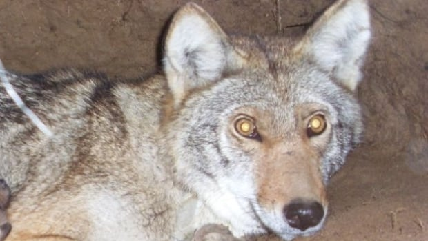 This female eastern coyote, seen in her den with her pups, killed a 20-month-old moose in central Ontario with her mate.
