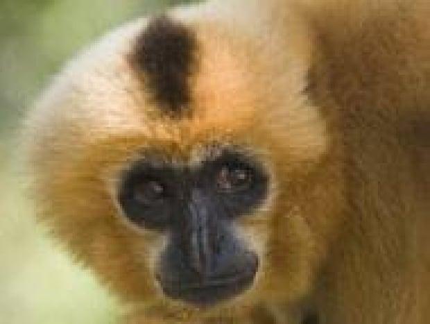 top-gibbon-121874