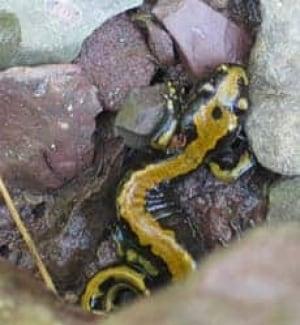 cgy-salamander