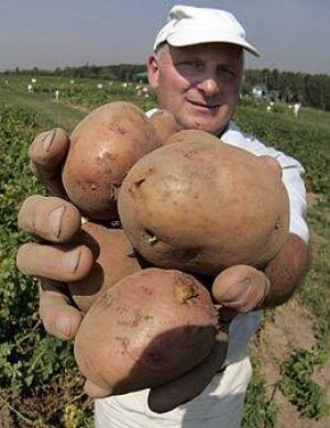 f-potato-260-cp