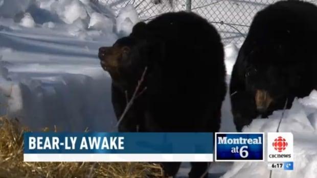 Bears awake