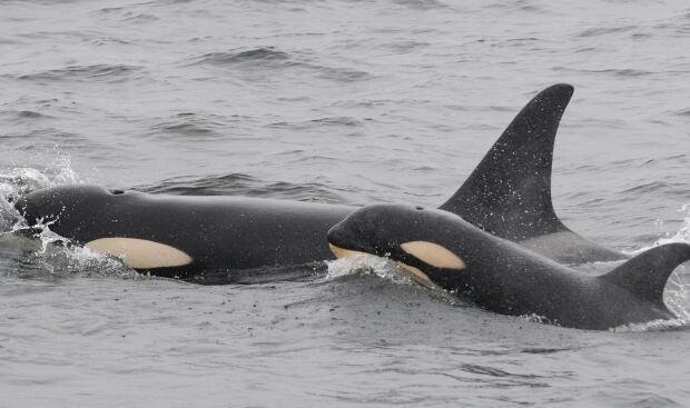 Orca pod summer 2013