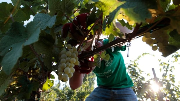 Wine made in vineyards like Villa Germaine, above, on the outskirts of Rome are now more likely to be consumed outside Italy as more and more Italians turn to other beverages like beer and cut back on spending.