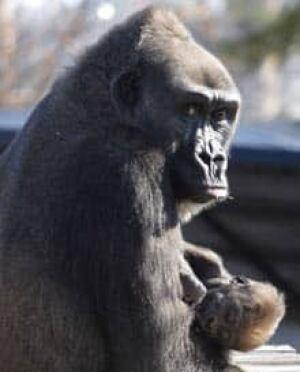 gorilla-cp-2072441
