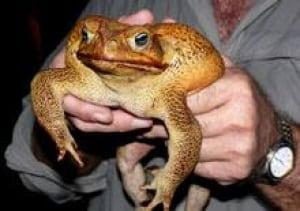 toad-australia-cp-11883016