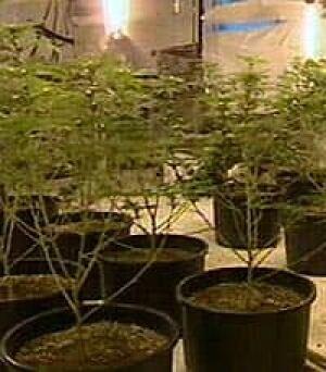 marijuanagrow050304