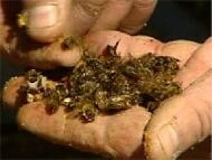 ot-dead-bees-070330
