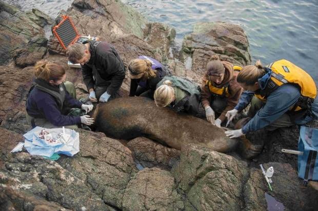 Sea lions Vancouver Island rescue