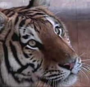 tiger-070511