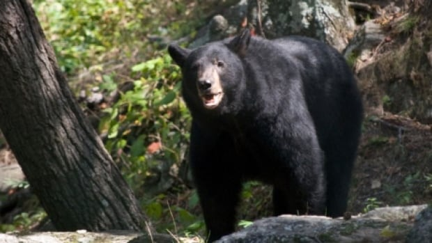 Police say a 44-year-old camper ran into trouble when a bear wandered into his campsite, ate his food and damaged his survival equipment.