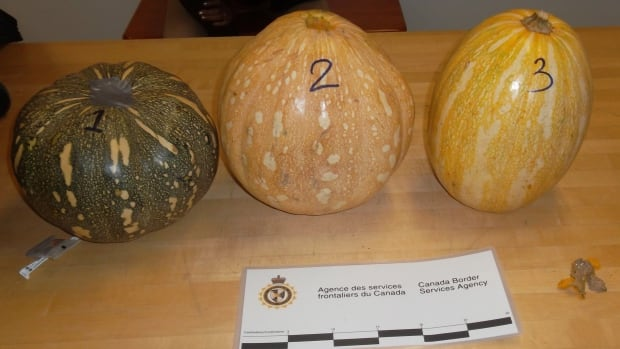 Border officials found the pumpkins in a passenger's luggage at the Montreal airport. They were stuffed with approximately two kilograms of what is believed to be cocaine.