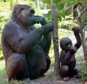 gorilla-cp-10596233