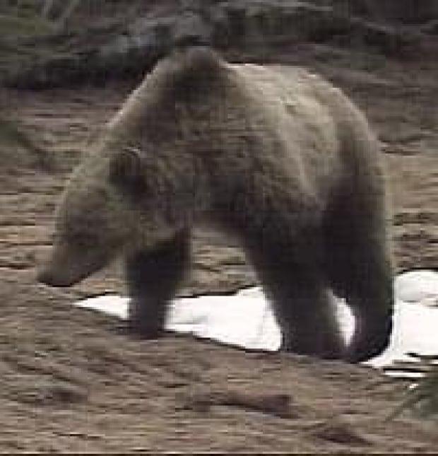 grizzley2_bear