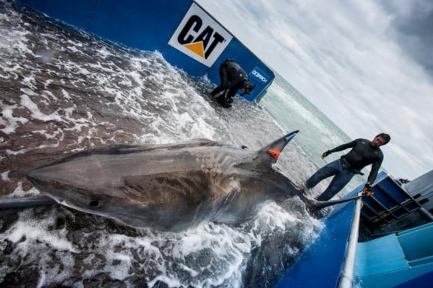 ocearch lydia great white shark 20131101