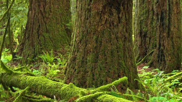 Environmentalists are fighting plans to log old-growth forest on Vancouver Island.
