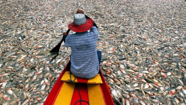 A man rows through dead fish floating on Lake Rei during a month long drought near the Amazon town of Careiro da Varzea, Brazil. Heat waves and droughts are expected to be worse as the climate changes, according to the leaked report.