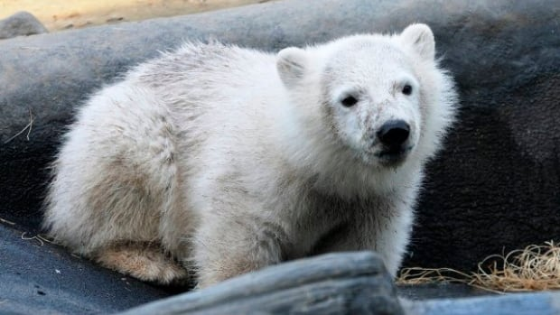 The new polar bear cub will join Hudson the polar bear, shown here at five months, who was born in captivity in the Toronto Zoo, but rejected by his mother.