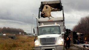 Cattle-dead-truck-crash-highway-20