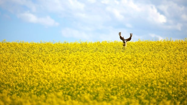 If Bayer and Monsanto consolidate, they would control about 90 percent of Canada's canola seed supply, according to the Canadian Federation of Agriculture.