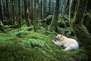 Bears in the Great Bear