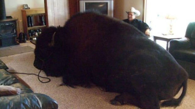 Jim Sautner of Spruce Grove, Alta., keeps a 825 kg bison as a pet. It no longer lives in the house.