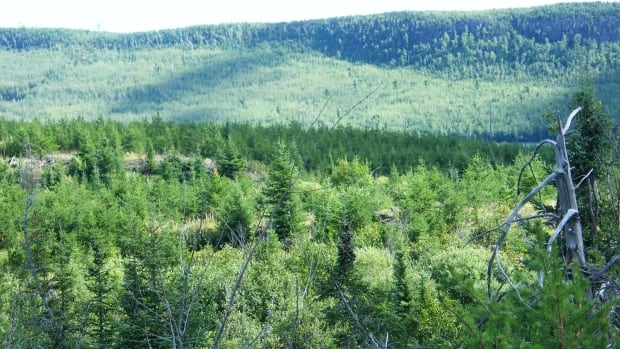 Replacing a deciduous forest with pure stands of conifers disrupts the biodiversity of the deciduous forest, a northwestern Ontario cottager says.