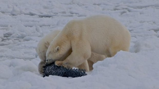 "Polar bears attempt to get at meat wrapped in steel mesh at a ""diversionary feeding station"" near Arviat, Nunavut. Wildlife officers in the Nunavut community are trying out the technique this year to help keep polar bears out of the community during freeze-up."