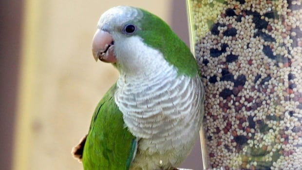 The monk parakeet, also known as the Quaker parrot, stands about 30 centimetres tall and has a wingspan of about 15 centimetres. It is primarily green with pale grey on its forehead, cheeks and chest.