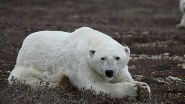 About 900 polar bears gather at Cape Churchill in Manitoba every fall waiting for Hudson Bay to freeze over so they can begin their seal hunting season on the ice.