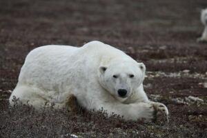 polar-bear-headline-image