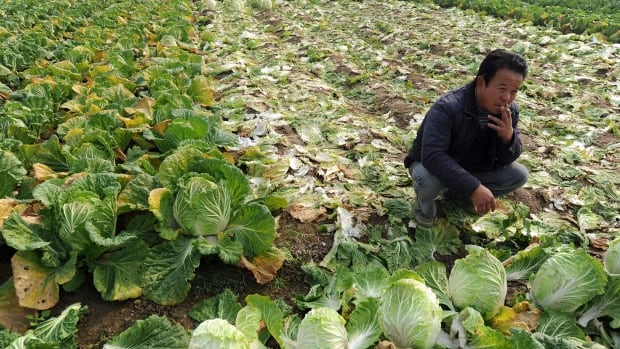 A farmer takes a smoke break amidst a cabbage field in Huaiyuan county in eastern China's Anhui province.  The Anhui provincial government says it would experiment with new land rules in 20 of its rural counties.