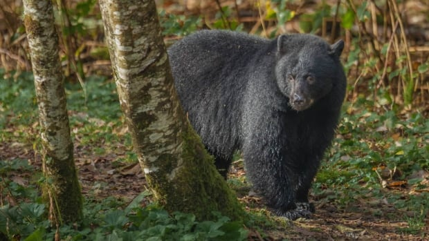 A young black bear emerges from the forest before fishing for salmon on Vancouver Island.