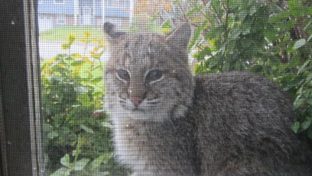 Bob Bauer took this photo of the cat sitting outside the window of his Bedford home. The province estimates there are between 8,000 to 10,000 bobcats in Nova Scotia.