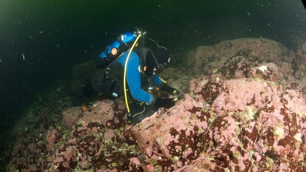 To collect coralline algae, divers had to chisel it from the bottom of places such as the Labrador Sea in near-freezing water temperatures.