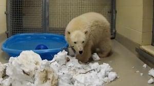 new polar bear cub