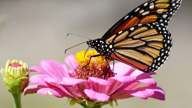 How Monarch Butterflies U0026 39  Compass Is Wired For Canada